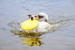Σκυλί που τρέχει στο νερό που προσκομίζει τον πλαστικό δίσκο στο στόμα Στοκ Εικόνα