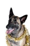Σκυλί που τυλίγεται χρυσό Tinsel διακοπών Στοκ Εικόνες