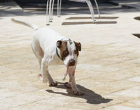 Σκυλί που φέρνει το λουρί του Στοκ φωτογραφία με δικαίωμα ελεύθερης χρήσης