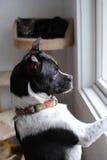 σκυλί που φαίνεται έξω παράθυρο Στοκ φωτογραφία με δικαίωμα ελεύθερης χρήσης