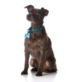 Σκυλί που φορά ένα περιλαίμιο με μια ετικέττα ονόματος στοκ φωτογραφίες με δικαίωμα ελεύθερης χρήσης