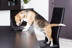 Σκυλί που χρησιμοποιεί έναν υπολογιστή Στοκ Εικόνες