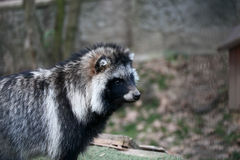 Σκυλί ρακούν Στοκ φωτογραφίες με δικαίωμα ελεύθερης χρήσης