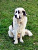 Σκυλί - ρουμανικός ποιμένας Στοκ Εικόνες