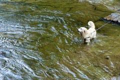 Σκυλί σε ένα λουρί που στέκεται στον ποταμό στοκ εικόνα