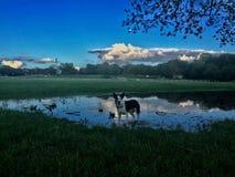 Σκυλί σε μια λίμνη Στοκ φωτογραφίες με δικαίωμα ελεύθερης χρήσης