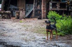 Σκυλί σε μια αλυσίδα στο χωριό που φρουρεί το αγροτικό σπίτι Στοκ Εικόνες