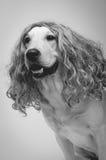 Σκυλί σε μια περούκα, γραπτή στοκ εικόνες