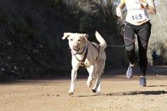 Σκυλί σε μια φυλή (canicross) Στοκ Φωτογραφία