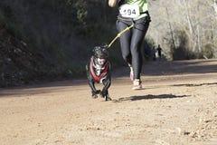 Σκυλί σε μια φυλή (canicross) Στοκ φωτογραφίες με δικαίωμα ελεύθερης χρήσης