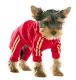 Σκυλί σε μια φόρμα γυμναστικής στοκ εικόνες με δικαίωμα ελεύθερης χρήσης