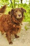 Σκυλί σπανιέλ κόκερ Στοκ Φωτογραφίες