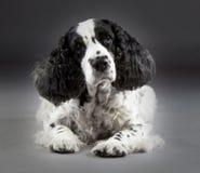 Σκυλί σπανιέλ κόκερ Στοκ εικόνα με δικαίωμα ελεύθερης χρήσης