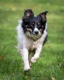 Σκυλί σπανιέλ Στοκ Φωτογραφία