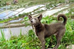 Σκυλί στα πεζούλια ρυζιού της ΟΥΝΕΣΚΟ σε Batad, Φιλιππίνες Στοκ Εικόνες