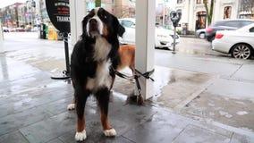 Σκυλί στην αναμονή λουριών υπαίθρια απόθεμα βίντεο
