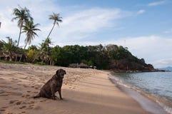 Σκυλί στην ηλιόλουστη παραλία Maenam Koh Samui, Ταϊλάνδη Στοκ Εικόνα