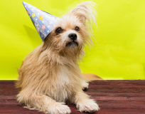 Σκυλί στην ΚΑΠ Στοκ εικόνες με δικαίωμα ελεύθερης χρήσης