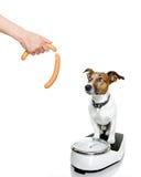 Σκυλί στην κλίμακα, με το υπερβολικό βάρος Στοκ Εικόνες