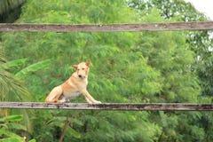 Σκυλί στην ξύλινη γέφυρα Στοκ φωτογραφία με δικαίωμα ελεύθερης χρήσης