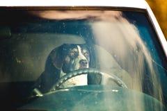 Σκυλί στη θέση του οδηγού Στοκ Φωτογραφίες