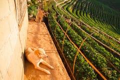 Σκυλί στον κήπο φραουλών στο ANG Khang, Chiang Mai, Ταϊλάνδη Doi Στοκ Φωτογραφίες
