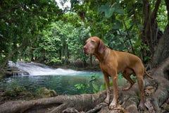Σκυλί στον καταρράκτη Στοκ Εικόνες