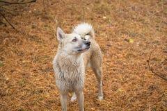 Σκυλί στο δάσος έλατου Στοκ φωτογραφία με δικαίωμα ελεύθερης χρήσης
