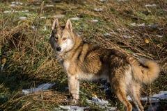 Σκυλί στο δάσος έλατου Στοκ εικόνα με δικαίωμα ελεύθερης χρήσης
