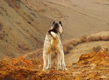 Σκυλί στο βουνό Στοκ Εικόνες