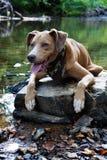 Σκυλί στο βράχο με την πεζοπορία ποταμών Στοκ Εικόνες