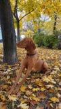 Σκυλί στο ζωηρόχρωμο πάρκο φθινοπώρου Στοκ εικόνα με δικαίωμα ελεύθερης χρήσης