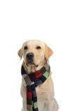 Σκυλί στο κοστούμι στοκ φωτογραφία