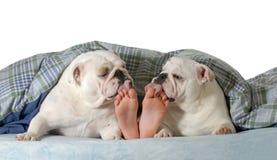 Σκυλί στο κρεβάτι στοκ εικόνες