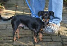 Σκυλί στο λουρί Στοκ εικόνες με δικαίωμα ελεύθερης χρήσης