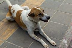 Σκυλί στο πεζοδρόμιο Στοκ Εικόνα