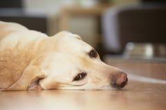 Σκυλί στο σπίτι Στοκ Φωτογραφίες