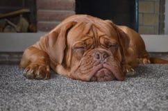 Σκυλί στο σπίτι Στοκ Φωτογραφία