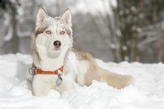 Σκυλί στο χιόνι Γεροδεμένος Στοκ Εικόνα
