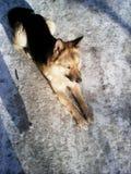 Σκυλί στο χιόνι Στοκ Φωτογραφία
