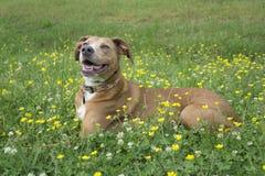Σκυλί στο χλοώδη τομέα με τα λουλούδια Στοκ εικόνα με δικαίωμα ελεύθερης χρήσης