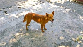 σκυλί Ταϊλανδός Στοκ Εικόνες