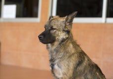σκυλί Ταϊλανδός Στοκ Φωτογραφία