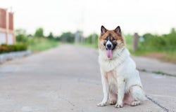 σκυλί Ταϊλανδός στοκ φωτογραφίες με δικαίωμα ελεύθερης χρήσης