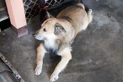 σκυλί Ταϊλανδός Στοκ Εικόνα
