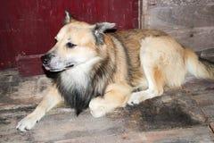 σκυλί Ταϊλανδός Στοκ Φωτογραφίες