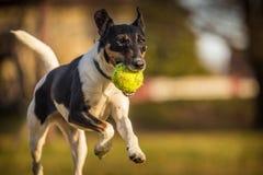 Σκυλί τεριέ αλεπούδων στοκ φωτογραφία με δικαίωμα ελεύθερης χρήσης