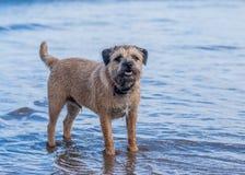 Σκυλί τεριέ συνόρων Στοκ Εικόνες