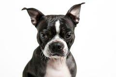 Σκυλί τεριέ της Βοστώνης Στοκ εικόνα με δικαίωμα ελεύθερης χρήσης