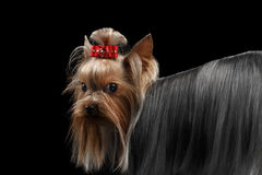 Σκυλί τεριέ του Γιορκσάιρ κινηματογραφήσεων σε πρώτο πλάνο, μακροχρόνιος καλλωπισμένος οίκτος τρίχας που ξανακοιτάζει στοκ εικόνες με δικαίωμα ελεύθερης χρήσης